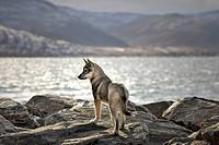 Sled dog puppy, Wakeham Bay, Nunavik, Northern Quebec, Canada