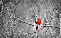 Northern Cardinal, Cardinalis virginianus, Ottawa, Ontario, Canada