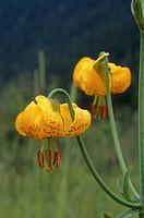 Tiger Llly, Lilium columbianum, Pemberton, BC, Canada