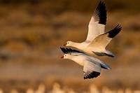 Ross´s Goose, Chen rossii, Bosque Del Apache, New Mexico, USA