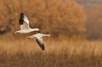 Snow Goose, Chen caerulescens, Bosque Del Apache, New Mexico, USA