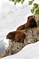 Vancouver Island Marmot, Marmota Vancouverensis, Vancouver Island, BC, Canada