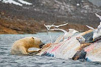 An adult polar bear Ursus maritimus scavenges the carcass of a fin whale Balaenoptera physalus, second largest of the whales below the blue whale, flo...