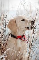 Golden retriever puppy in the snow
