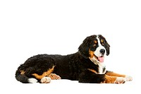 Puppy bernese mountain dog _ 4 months berner sennenhund