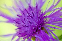 Brown ray knapweed