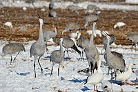 Sandhill Crane Grus canadensis Squabbling behaviour in grain fields, Bosque del Apache NWR, New Mexico, USA