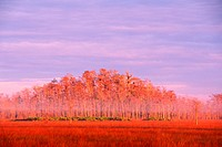 Dawn Light Casts a Warm Glow onto a Grove of Everglades Trees