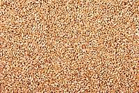 Wheat grain. Background