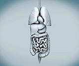 Assembled human organs