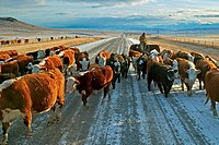 Cattle drive on a gravel road in late winter / early spring along the prairies in southern Alberta, Canada