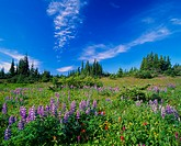 A landscape image of wildflowers Lupens and Indian Paintbrush growing high in the mountain alpine region near Smithers British Columbia Canada.