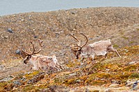 A pair of Svalbard reindeer Rangifer tarandus platyrhynchus a small subspecies of Rangifer tarandus, travel along the coast on Svalbard, Norway, in su...