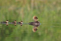 Common Merganser, Mergus merganser, swimming on a freshwater pond in Eastern Ontario, Canada.