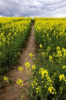 Field with rapeseed Brassica napus for the production of vegetable oil and biodiesel
