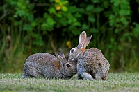 European rabbits / common rabbit Oryctolagus cuniculus greeting and preening in field