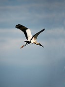 An African Sacred Ibis Threskiornis aethiopicus takes flight in the Everglades, Everglades National Park, Florida.