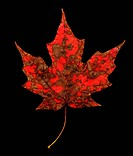 Red Maple Leaf with Orange Brown Fungus Spots on Black Background