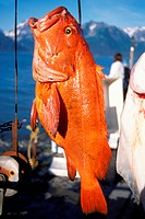 Rockfish On a Hook