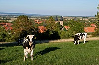 Cattle on meadow, Abbey, Druebeck, Harz, Saxony_Anhalt, Germany