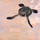 Infant Green Turtle
