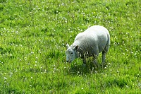 Sheep on meadow, Orkney Islands, Scotland, United Kingdom
