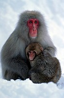Japanese macaque, Macaca fuscata, near Nagano, Japan