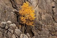 Birch on rocks at Oker valley, near Goslar, Harz mountains, Lower Saxony, Germany, Europe
