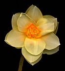 A light yellow daffodil genus Narcissus on a black background.