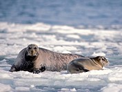 Bearded Seal Cow with Pup on the Pack Ice in the Bering Sea