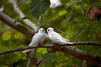 White Terns sitting on a branch, Curieuse Island, Seychelles, Indian Ocean