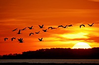 Cranes flying at sunrise, Western Pomerania Lagoon Area National Park, Fischland_Darss_Zingst Peninsula, Baltic Sea, Mecklenburg Vorpommern, Germany