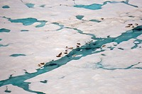Ringed Seals Hauled Out on Multi_Layer Pack Ice in the Chukchi Sea