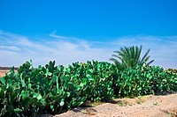 Moroccan cactuses