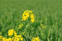 Rape field, canola crops