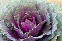 Closeup Fresh violet Cabbage
