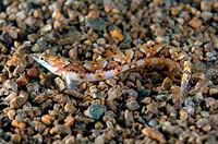 Pavlenkos snake bleonny Lumpenopsis pavlenkoi, Soldatov  Japan sea, Far East, Primorsky Krai, Russian Federation