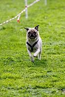 Rennender Hund beim Hundesport