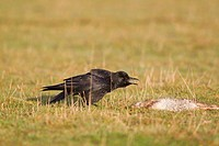 Carrion Crow Corvus corone adult, calling, standing beside dead European Rabbit Oryctolagus cunniculus, Suffolk, England, October