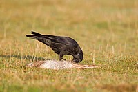 Carrion Crow Corvus corone adult, feeding on dead European Rabbit Oryctolagus cunniculus, Suffolk, England, October