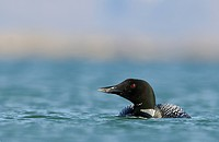 Great Northern Diver Gavia immer adult, breeding plumage, swimming on lake, Lake Myvatn, Iceland, June