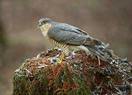 Eurasian Sparrowhawk Accipiter nisus adult male, feeding on bird prey at plucking post, Dumfries and Galloway, Scotland, July