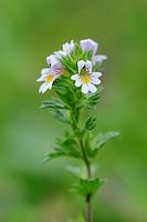 Common Eyebright, Austria / Euphrasia officinalis, Euphrasia rostkoviana, Euphrasia officinalis subsp. rostkoviana