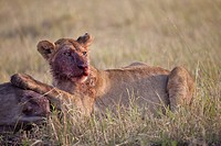 Masai Lion Panthera leo nubica immature female, with bloody face, feeding on White_bearded Wildebeest Connochaetus taurinus mearnsi carcass, Masai Mar...