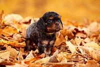 Cavalier King Charles Spaniel, puppy, black_and_tan, 5 weeks / autumn foliage