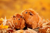 Abyssinian Guinea Pigs, red