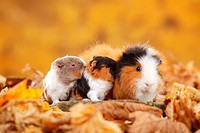 CH Teddy Guinea Pigs, female with youngs, tortie_white and slateblue_gold_white / Swiss Teddy Guinea Pig