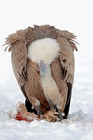 Griffon Vulture on carcass / Gyps fulvus