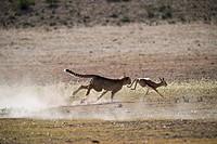 A cheetah hunting, Kalahari