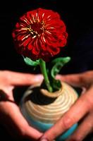 Zinnia flower in a vase